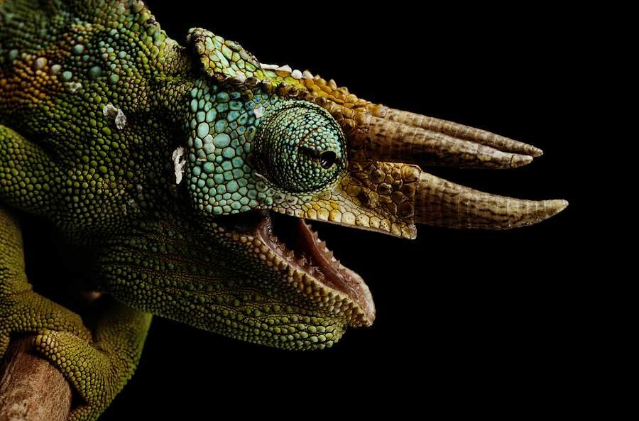 the-three-horned-chameleon